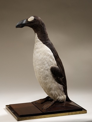 Great Auk mount, Pinguinus impennis, collected 1830