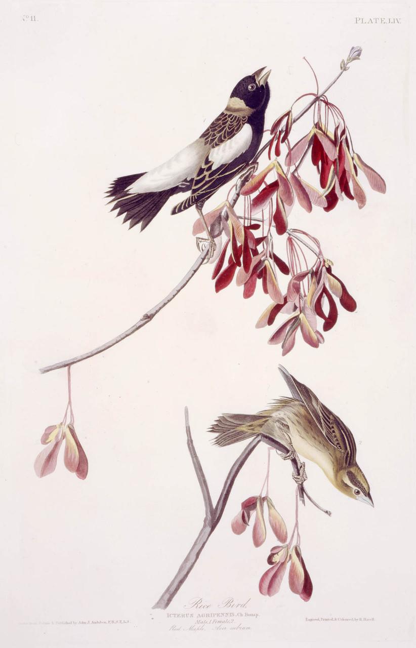 Rice Bird