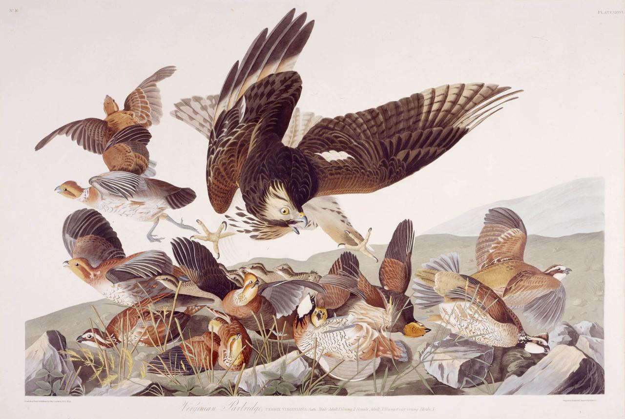 Virginian Partridge