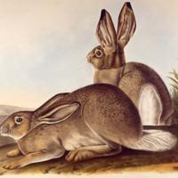 audubon_3_hare.jpg