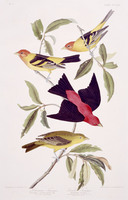 1. Louisiana Tanager, 2. Scarlet Tanager